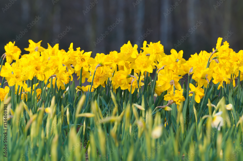 Osterglocken, frohe Ostern, Blumenbeet, Narcissus pseudonarcissus ...