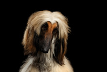 Close-up Headshot Of Afghan Hound Fawn Dog Curious Looking On Isolated Black Background, Front View