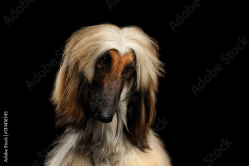 Close-up Headshot of Afghan Hound fawn Dog Curious looking on isolated Black Bac Canvas Print