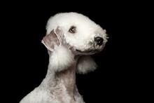 Headshot Of Bedlington Terrier...