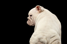 White Puppy British Bulldog Breed, Sitting And Looking At Side On Isolated Black Background, Back View