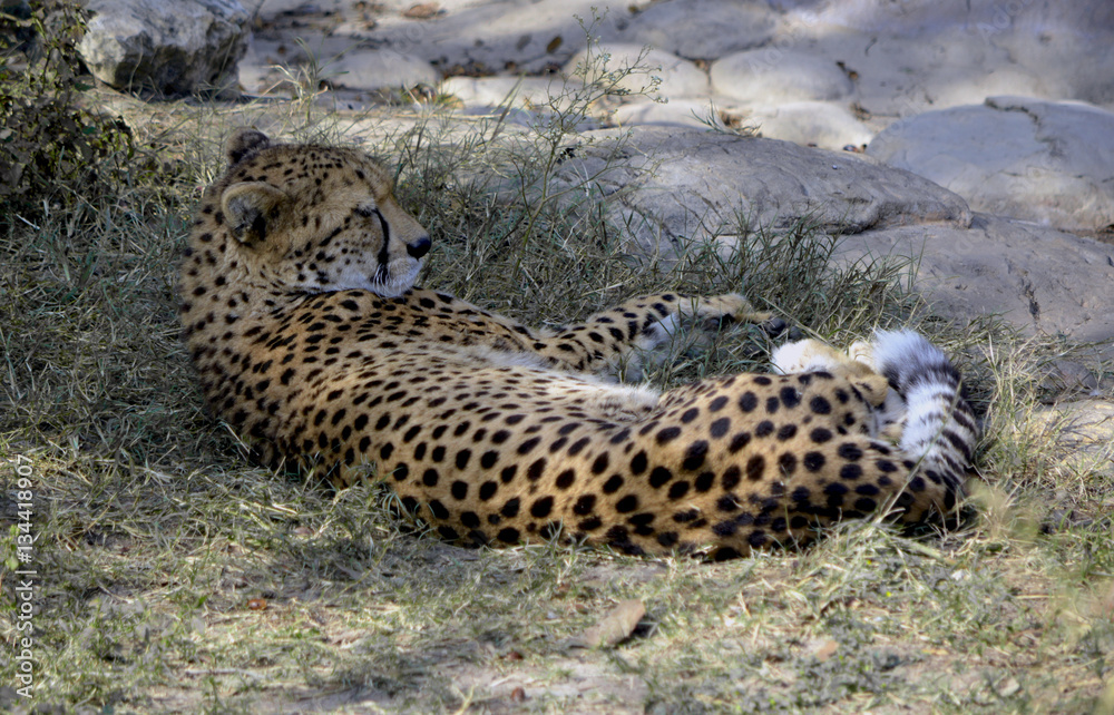 photo art print sleeping cheetah cheetah laying in grass relaxing