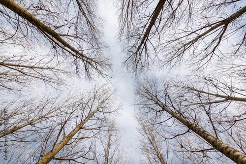 Chopos canadienses hacia el cielo. Populus canadensis. © LFRabanedo