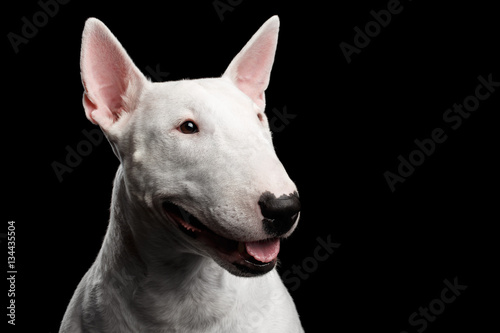 Fotografie, Tablou Close-up portrait of Happy White Bull Terrier Dog Looking side on isolated black