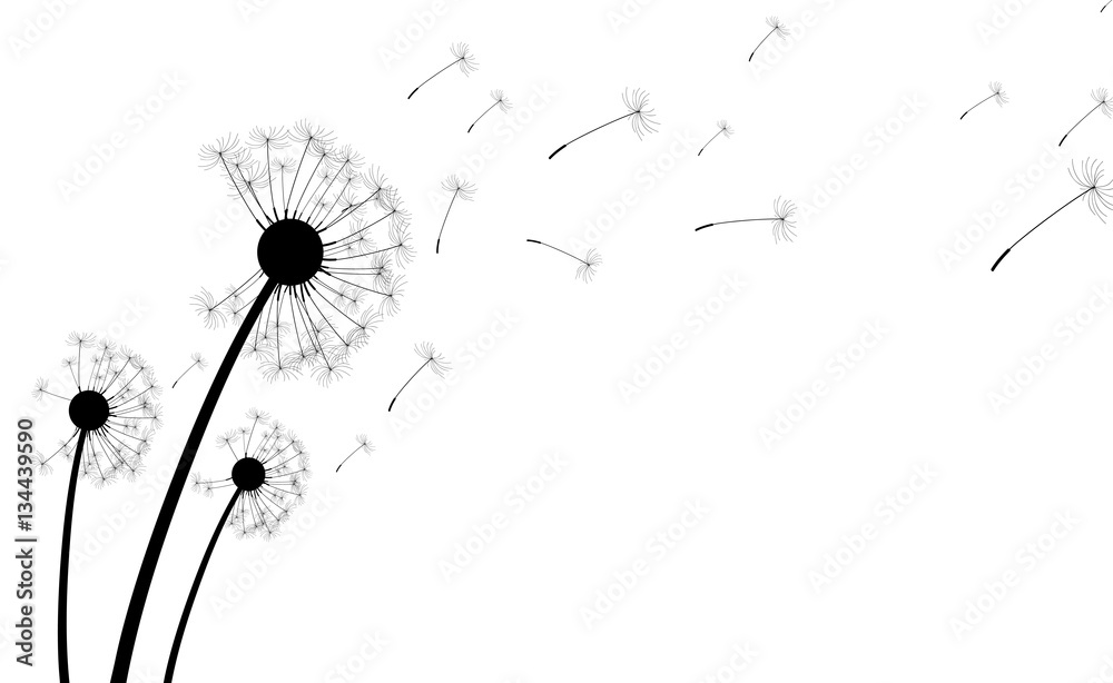 Fototapety, obrazy: White background with dandelions.
