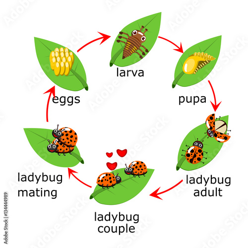 vector of ladybug life cycle for kids buy this stock vector and