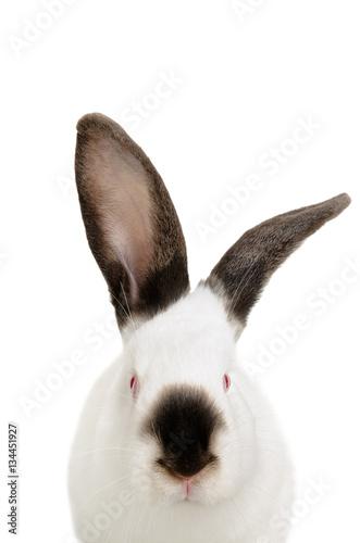 Fotografie, Obraz  Portrait of a funny white albino rabbit, closeup, isolated on white background