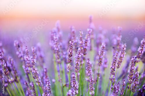 Photo sur Toile Lavande Beautiful lavender flowers