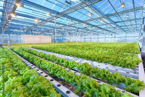 Fotografie, Obraz Green salad growing in greenhouse