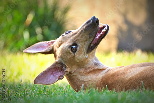 Tablou Canvas Happy young brown greyhound outdoor