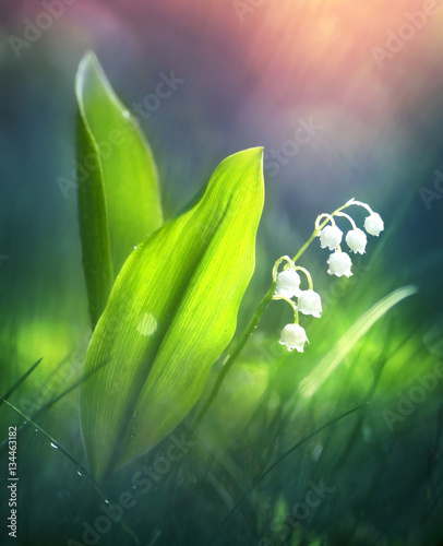 Tuinposter Lelietje van dalen Beautiful spring lily of the valley in the forest in the morning at dawn in the sun soft focus macro. Spring template floral background wallpaper. Colorful gentle romantic artistic image.