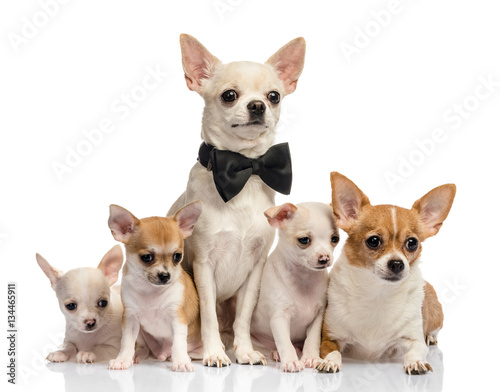 Dog family, Chihuahua on white background © Ruslan Semichev