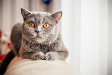 Grey Cat, Scottish, Yellow Eyes