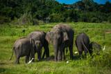 Elephants at Kawudulla, Minneriya national park in Sri Lanka