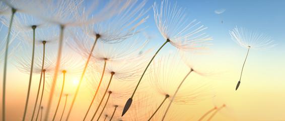 FototapetaPusteblume im Sonnenlicht