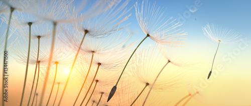 Fototapeta Pusteblume im Sonnenlicht obraz