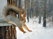 red squirrel jumps from tree.