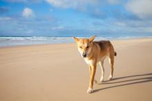 A Dingo On Fraser Island, Queensland, Australia
