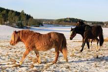 Horses On Snowy Field In Winter