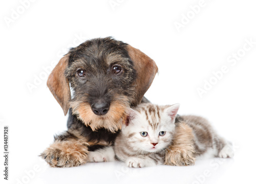 Deurstickers Franse bulldog Dog embracing tiny kitten. isolated on white background