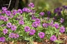 Purple Paririe Verbena Flower Mound In Spring, On The Edge Of Woods