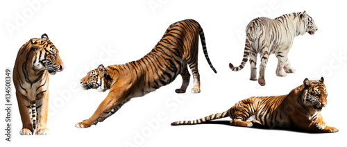 Foto auf AluDibond Tiger tigers. Isolated on white