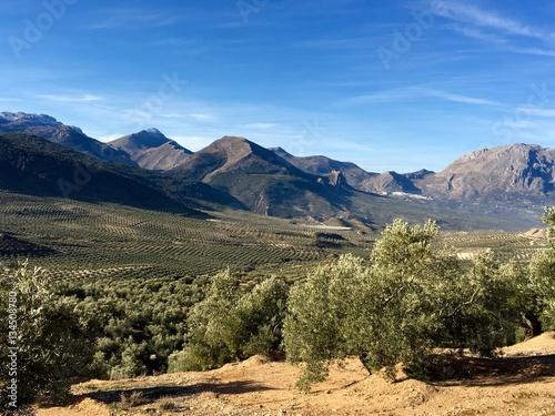 Olivar en Jaén. aceite de oliva