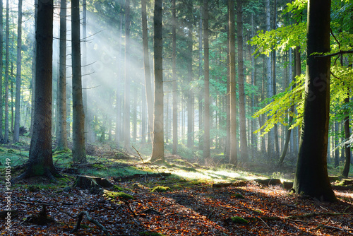 Aluminium Prints Autumn Sun rays in a fog in a misty morning green forest. Osnabruck, germany
