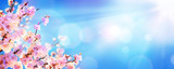 Fototapeta Kwiaty - Spring Blooming - Almond Blossoms With Sunlight In The Sky
