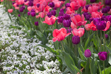 Pink And Purple Tulips And Whi...