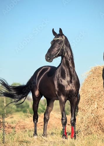 Fototapeta black beautiful sportive stallion posing in field with hay obraz
