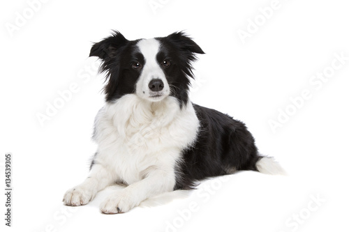 black and white border collie dog Canvas Print