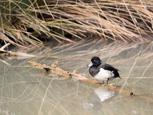 Male Tufted Duck (Aythya Fuligula) In The River Bank