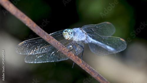 big dragonfly in a native habitat
