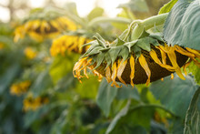 Sunflower Wither