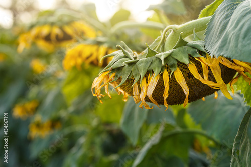 Photo  Sunflower wither