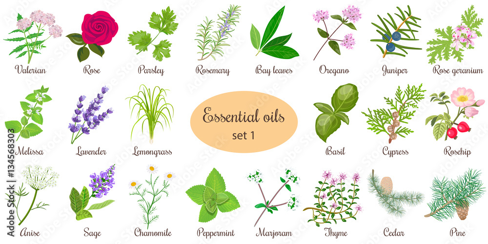 Fototapety, obrazy: Big vector set of popular essential oil plants. Rose, Geranium, lavender, mint, melissa, Chamomile, cedar, pine, juniper, rosehip etc. For cosmetics store spa health care aromatherapy homeopathy