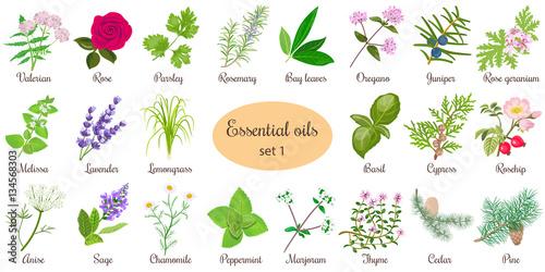 Obraz na plátně  Big vector set of popular essential oil plants