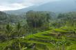 rice terrace in bari
