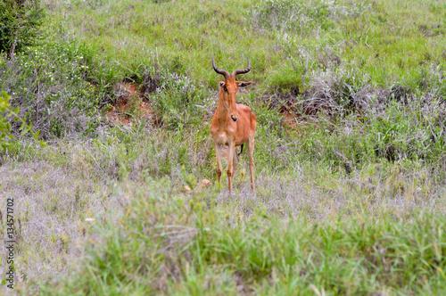 Hirola in the savanna