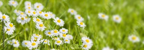 In de dag Madeliefjes Panorama von Blumenwiese frischem Gras