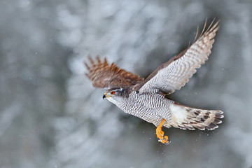 Winter with flying bird in the forest. Bird of prey Northern Goshawk landing on spruce tree during winter with snow. Wildlife scene from nature. Goshawk in fly.