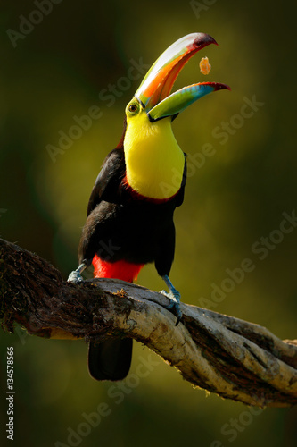 In de dag Toekan Keel-billed Toucan, Ramphastos sulfuratus, bird with big bill. Toucan sitting on the branch in forest with fruit in beak, Boca Tapada, Laguna de Lagarto Lodge, Costa Rica. Nature travel, nice evening.