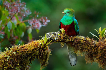 Beautiful bird in nature tropic habitat. Resplendent Quetzal, Pharomachrus mocinno, Savegre in Costa Rica, with green forest background. Magnificent sacred green and red bird. Birdwatching in jungle.