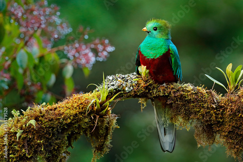 Poster Bird Beautiful bird in nature tropic habitat. Resplendent Quetzal, Pharomachrus mocinno, Savegre in Costa Rica, with green forest background. Magnificent sacred green and red bird. Birdwatching in jungle.