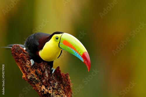 In de dag Toekan Keel-billed Toucan, Ramphastos sulfuratus, bird with big bill. Toucan sitting on the branch in the forest, Boca Tapada, Laguna de Lagarto Lodge, Costa Rica. Nature travel in central America.