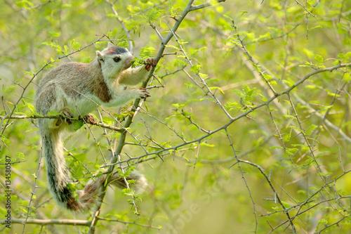 Fotografie, Obraz  Grizzled giant squirrel, Ratufa macroura, in the nature habitat