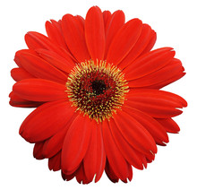 Red Gerbera Flower, White Isolated Background With Clipping Path.   Closeup.  No Shadows.  For Design.  Nature.
