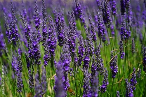 Poster Lavendel fleurs lavande en Provence