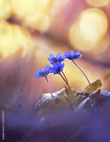Foto auf Leinwand Blumen Spring forest flowers primroses sunlight on beautiful soft golden blurred background macro. Spring floral background for wallpaper card design. Graceful gentle charming sweet sunny artistic image.